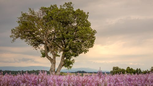Free stock photo of clouds, flowers, provence, purple
