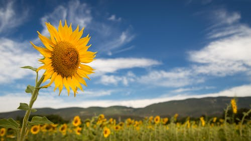 Free stock photo of clouds, provence, sky, sunflower