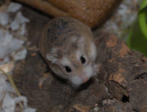 Gratis arkivbilde med dyr, dyrefotografering, hamster