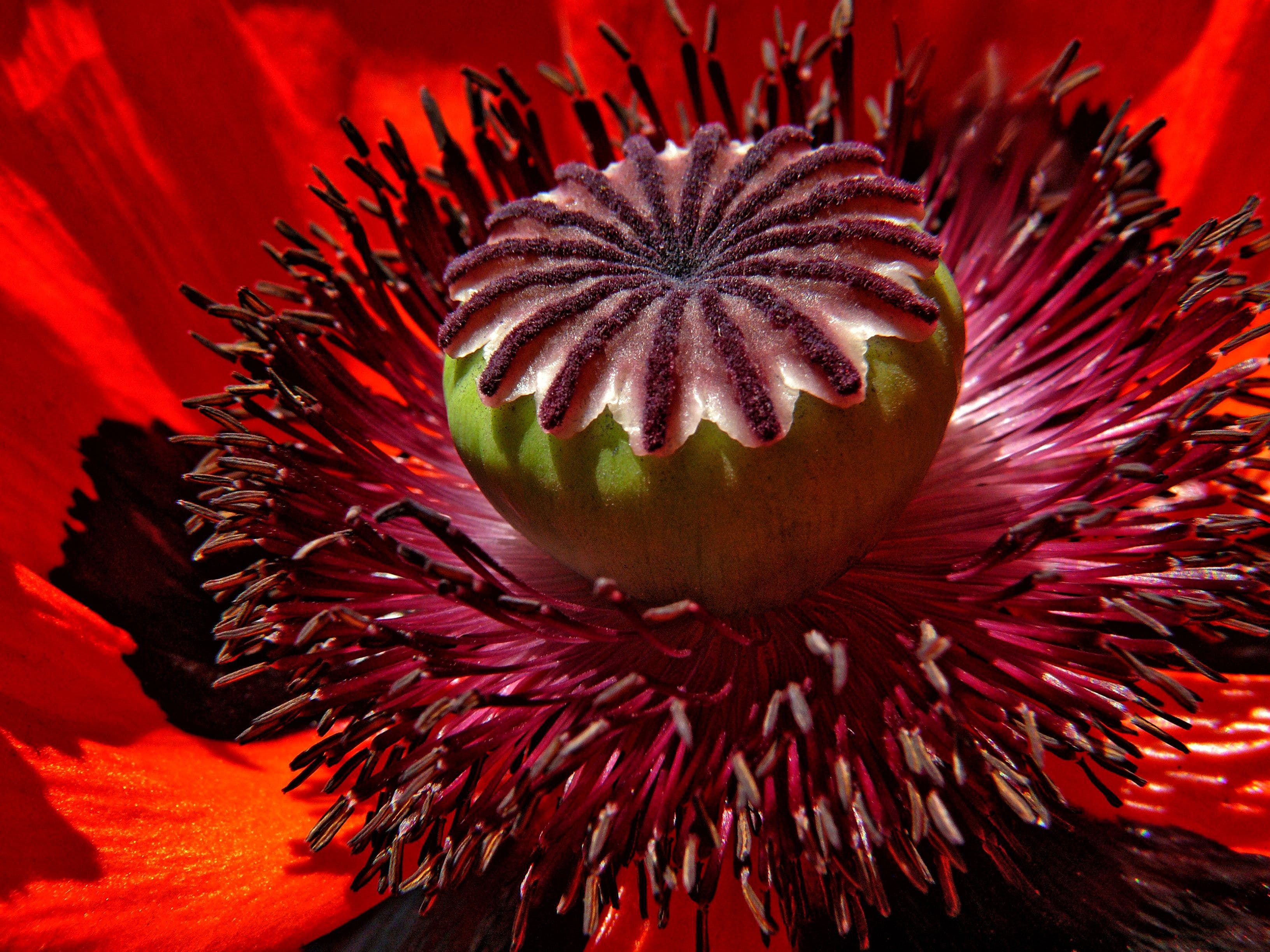 Selective Focus Photo of Red Poppy Flower