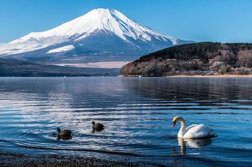 山附近水面上的白天鹅