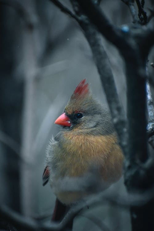 Immagine gratuita di alla ricerca, animale, cardinale, carino