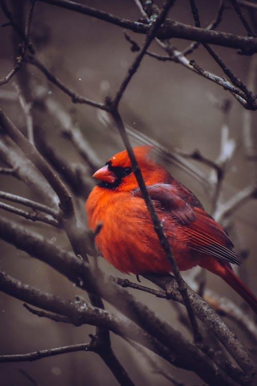 Immagine gratuita di albero, autunno, birdwatching, cardinale