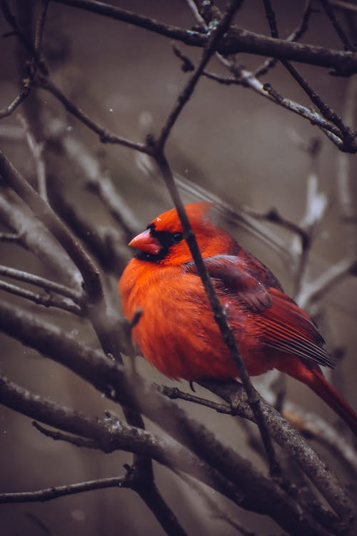 Red Cardinal Perched On Tree Branch