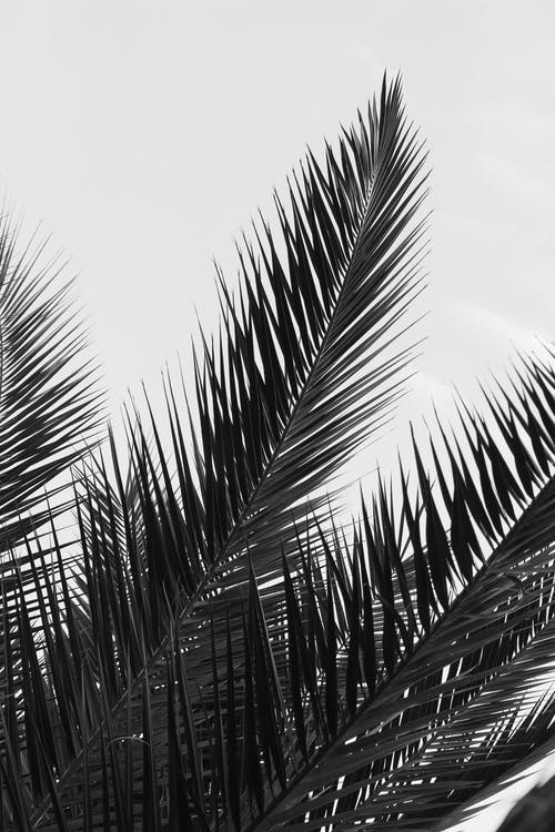 Grayscale Photo of Palm Leaves