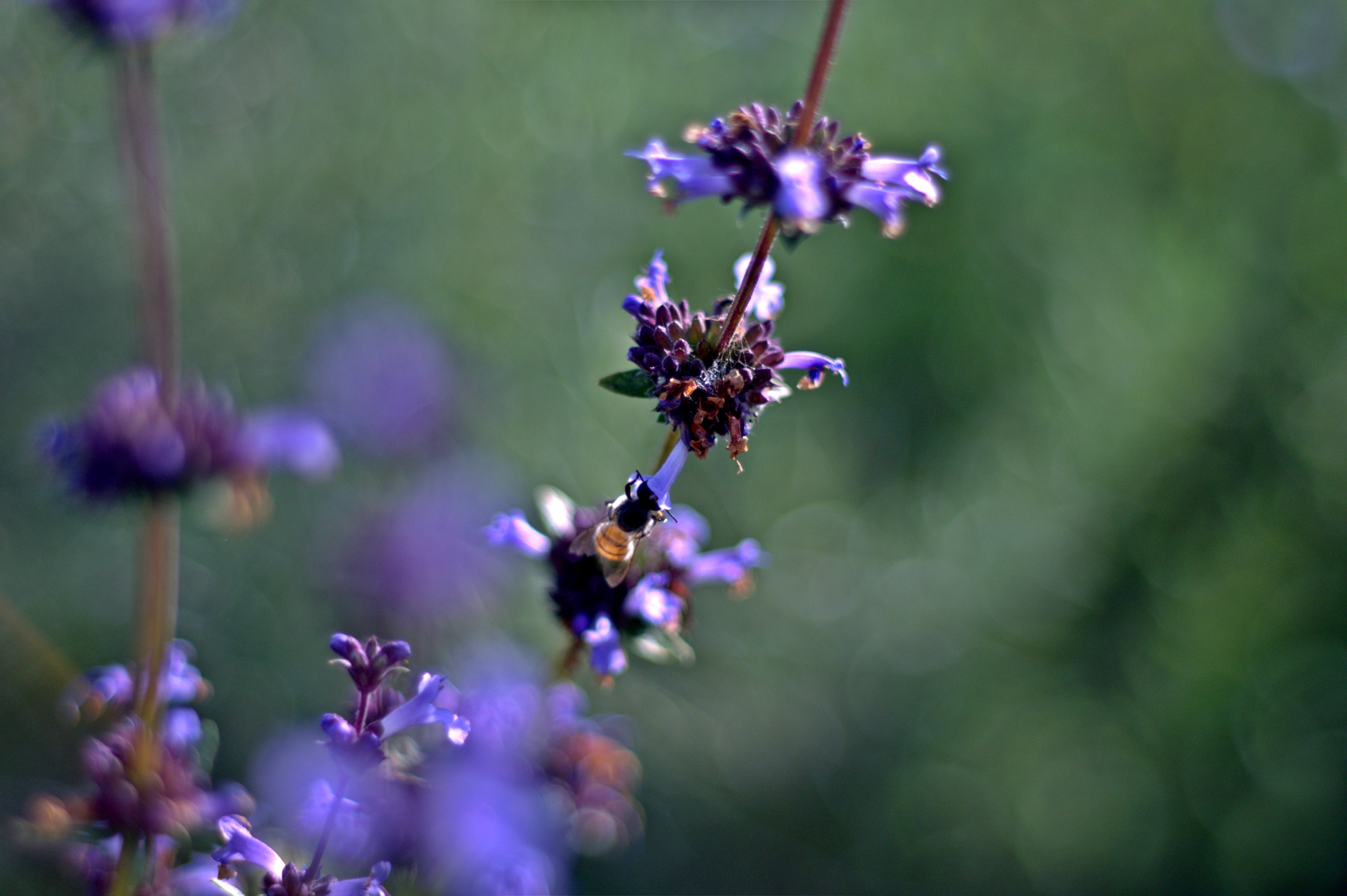 Free stock photo of bees, close-up, nature, purple flowers