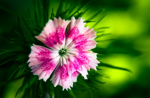 Pink Dianthus Flower Selective-focus Photography