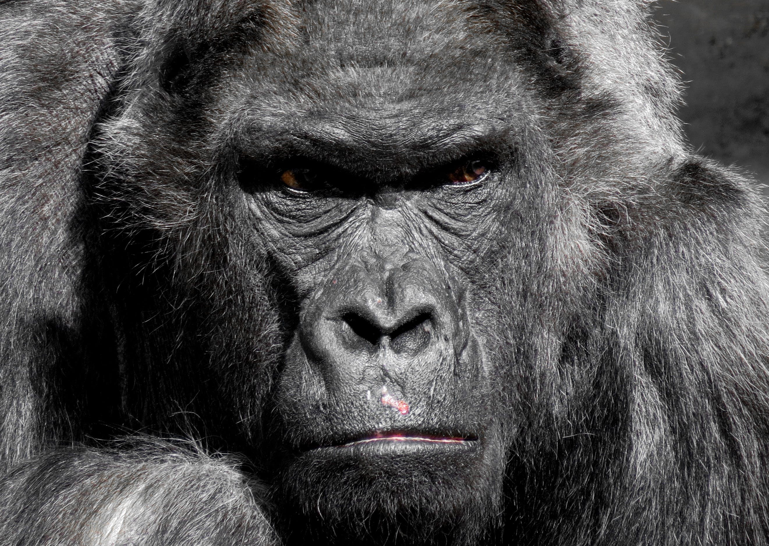 Foto stok gratis binatang, fotografi binatang, gorila, hitam