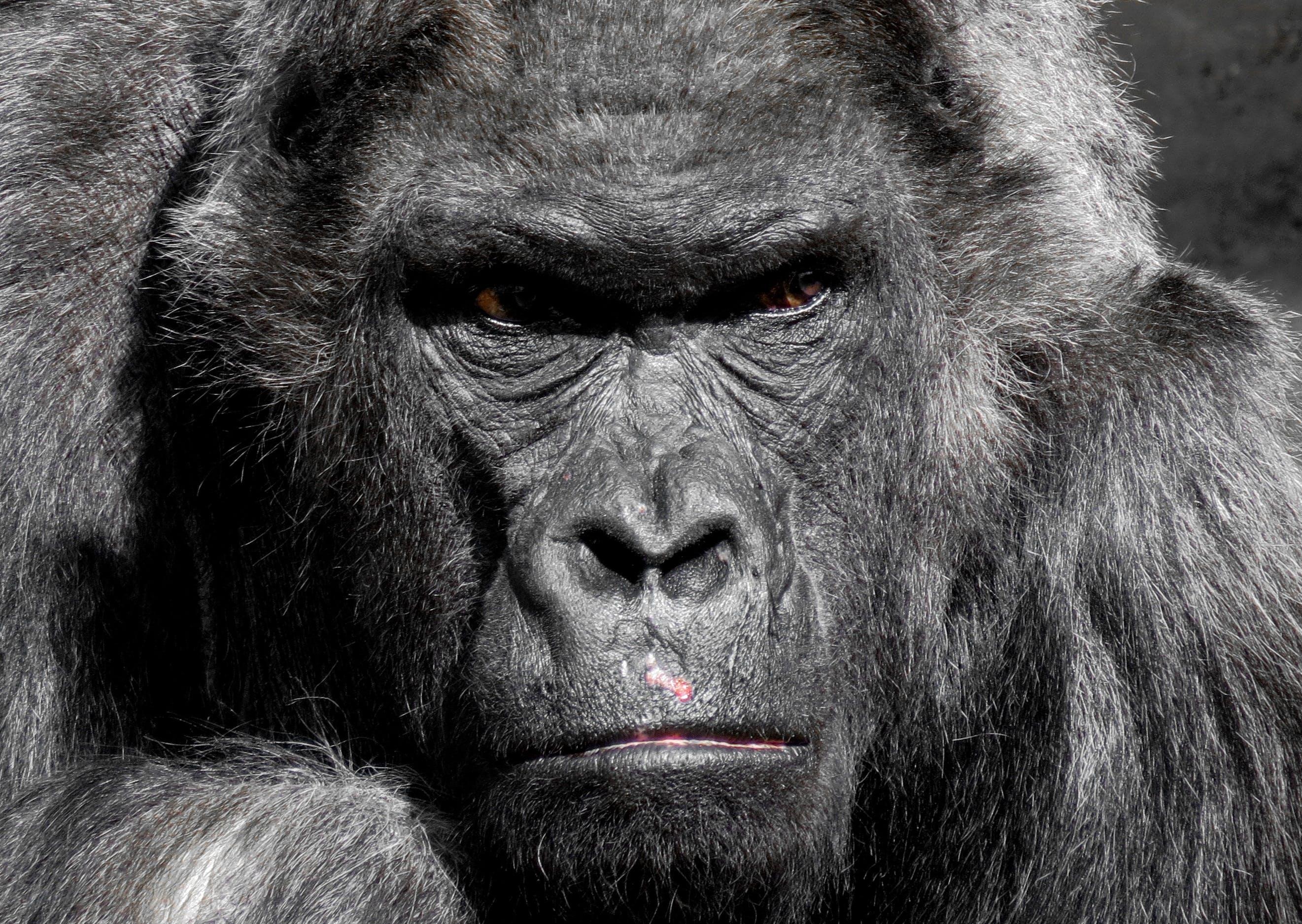 Gorilla Animal