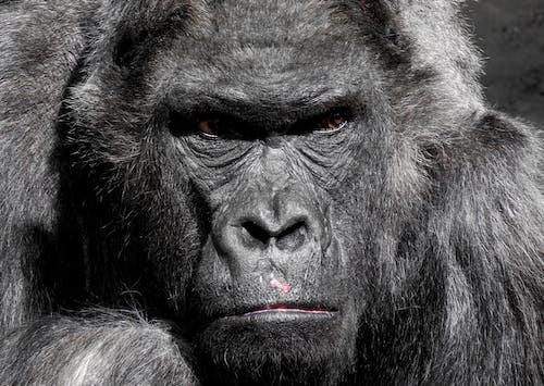 Základová fotografie zdarma na téma černá, divočina, fotografování zvířat, gorila