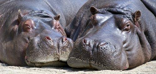 Безкоштовне стокове фото на тему «бегемоти, великий план, гіпопотами, дика природа»
