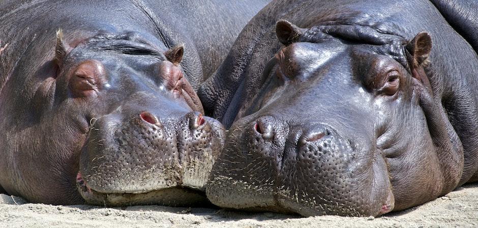 Black Hippopotamus Laying on Ground during Daytime