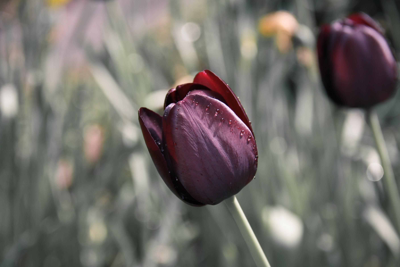 Maroon Petaled Flower