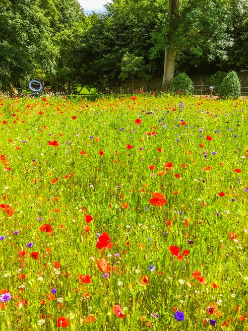 Free stock photo of cornflowers, grass, poppies, red flowers
