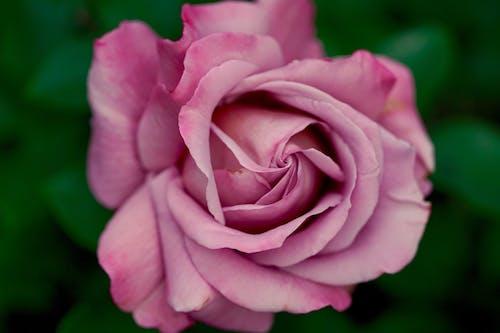 Δωρεάν στοκ φωτογραφιών με ανθισμένος, άνθος, λουλούδι, μοβ