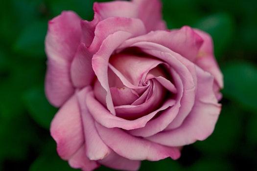 Free stock photo of purple, flower, pink, rose