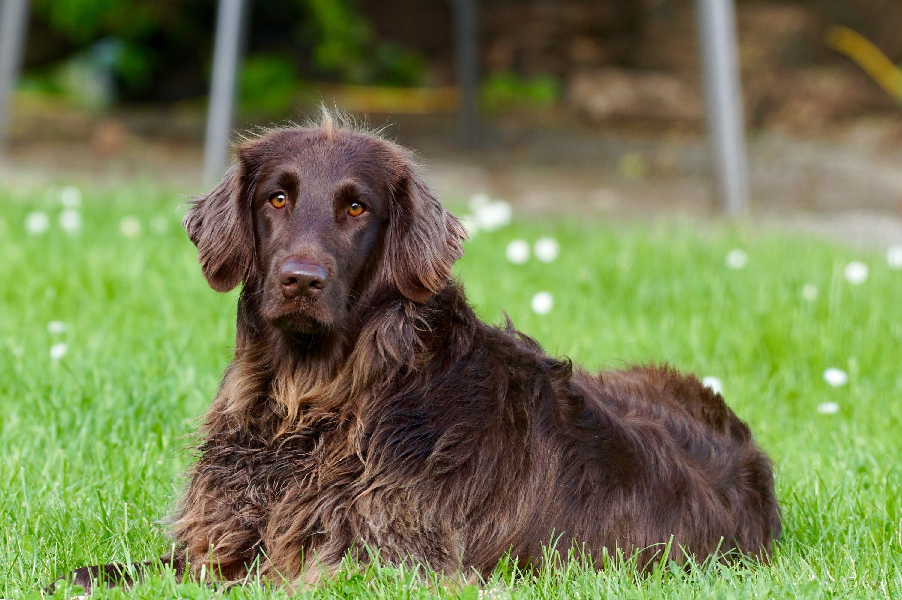 Adult Flat-coated Retriever Lying on Lawn Grass Selective Focus Photography