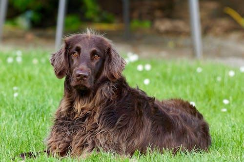 Gratis stockfoto met beest, duitse langharige wijzer, hond, huisdier