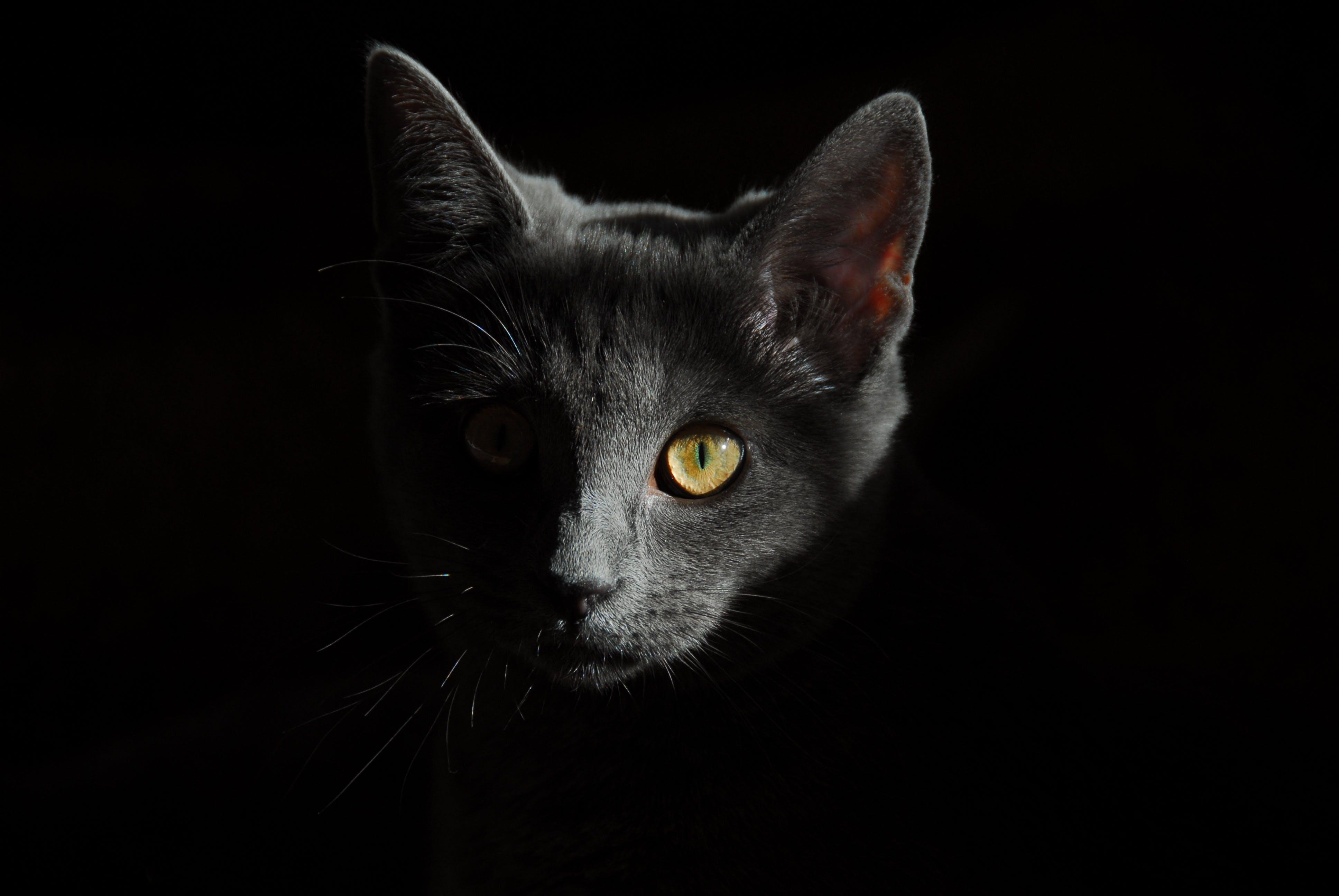 Foto profissional grátis de animal, animal de estimação, close, felino