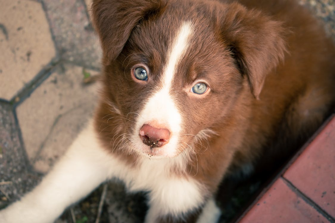 Free stock photo of animal, border collie, canine