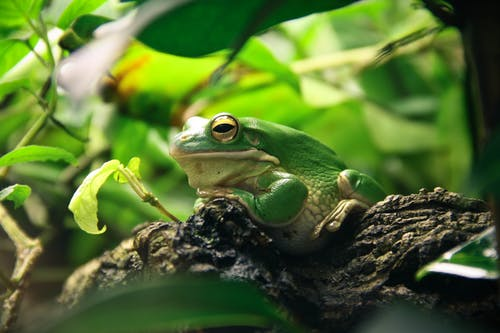 Green and White Frog Resting on Brown Tree Branch