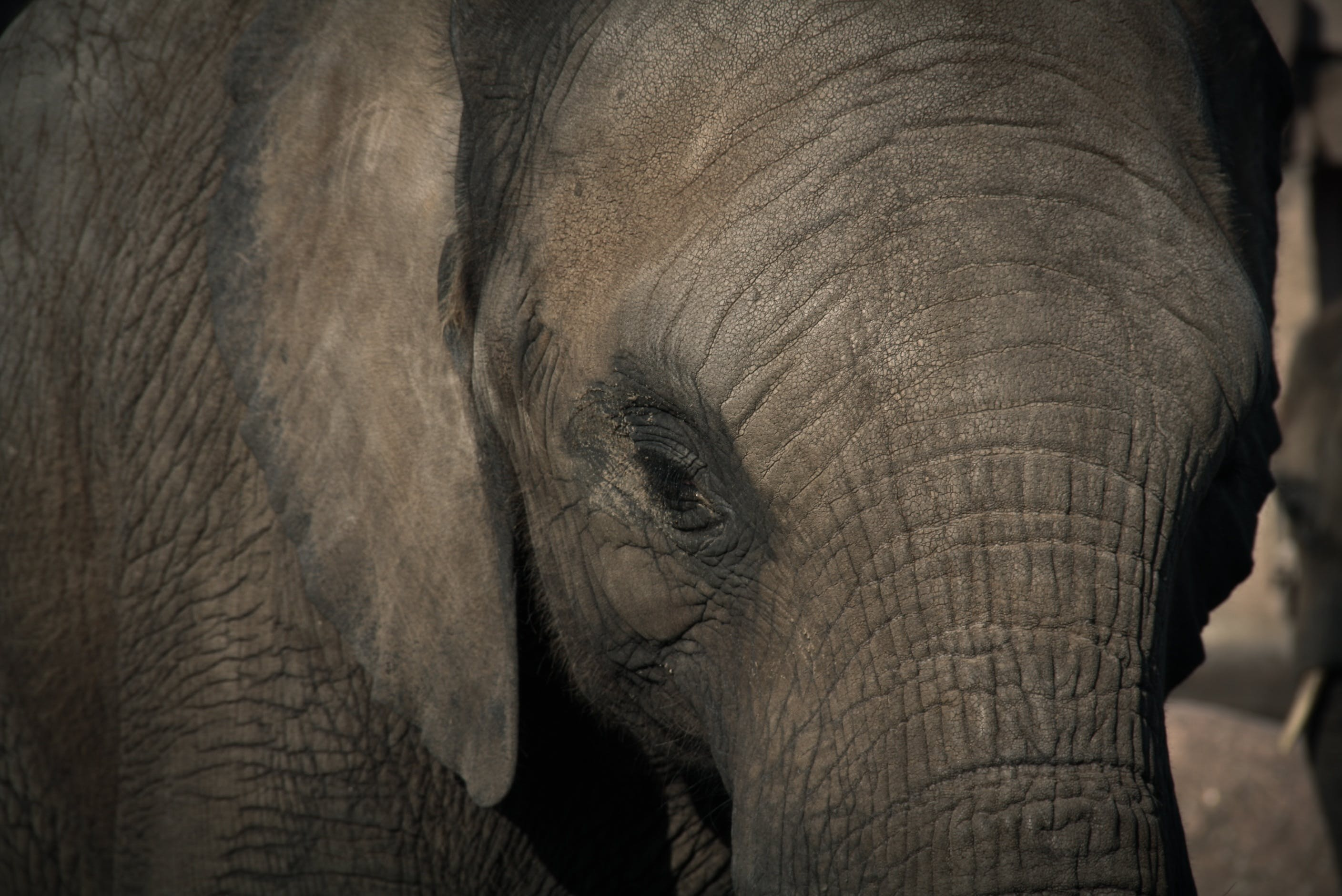 Selective Focus Photography of Gray Elephant