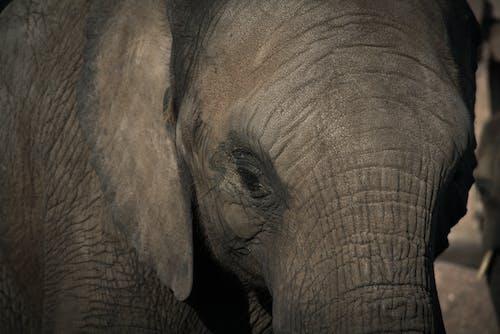 Kostnadsfri bild av djur, elefant, närbild, tjockhuding