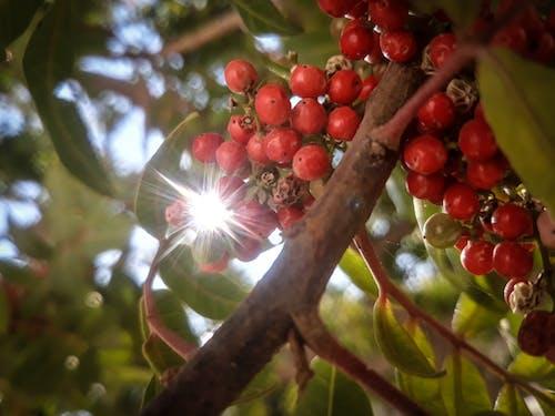 Ilmainen kuvapankkikuva tunnisteilla auringon säteet, lehdet, luonto, punaiset siemenet