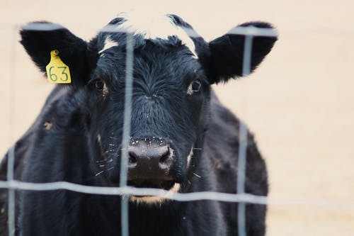 Free stock photo of chain link fence, cow