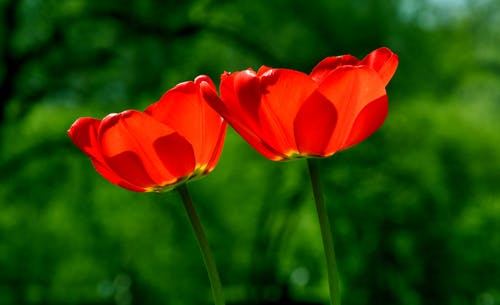 Selective Focuc Photo of Two Red Tulips in Bloom