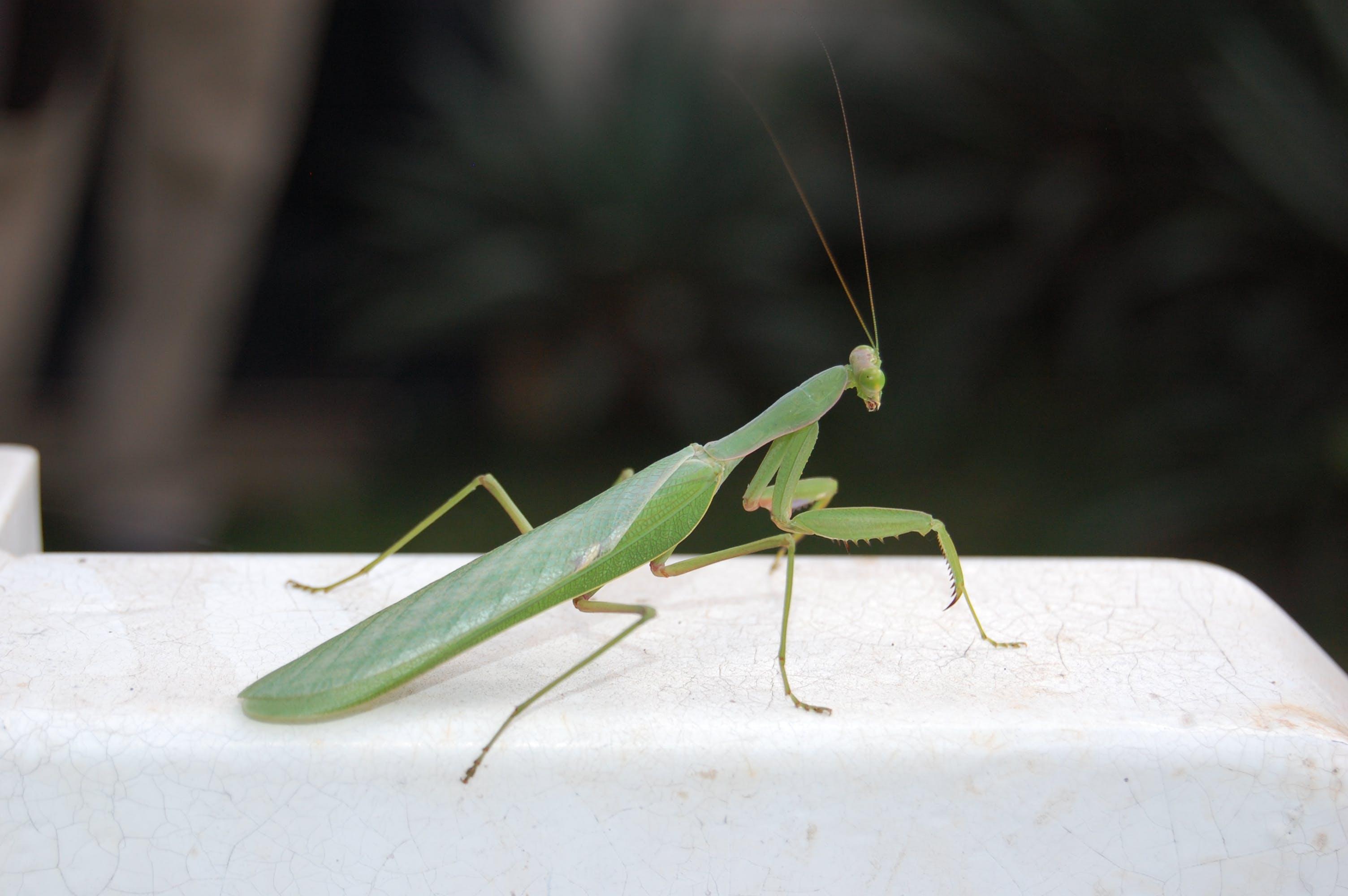 Free stock photo of praying mantis