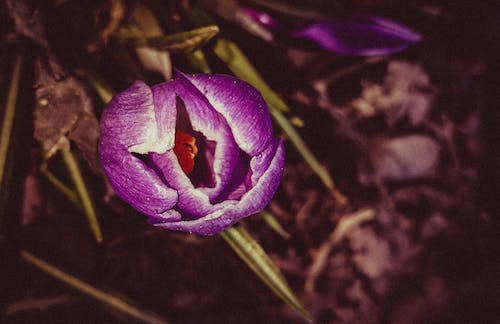 Free stock photo of art, crocus, Fine art, flower