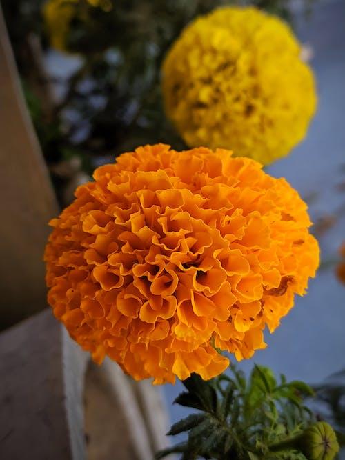 Kostenloses Stock Foto zu blumen, gelb, gulmohar, orange