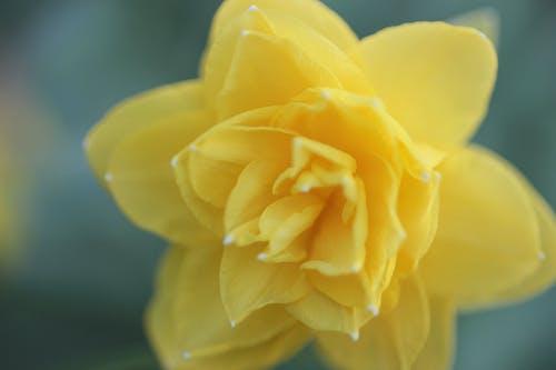 Ảnh lưu trữ miễn phí về hoa, lớn lên, màu vàng, thủy tiên