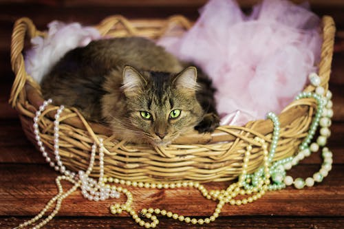 Ảnh lưu trữ miễn phí về con mèo, con vật, lông thú, mèo