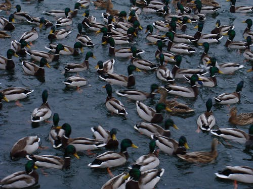 Flock of Mallard Ducks on Water