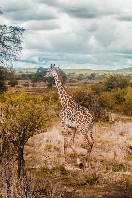Kostenloses Stock Foto zu busch, draußen, giraffe, mobilechallenge