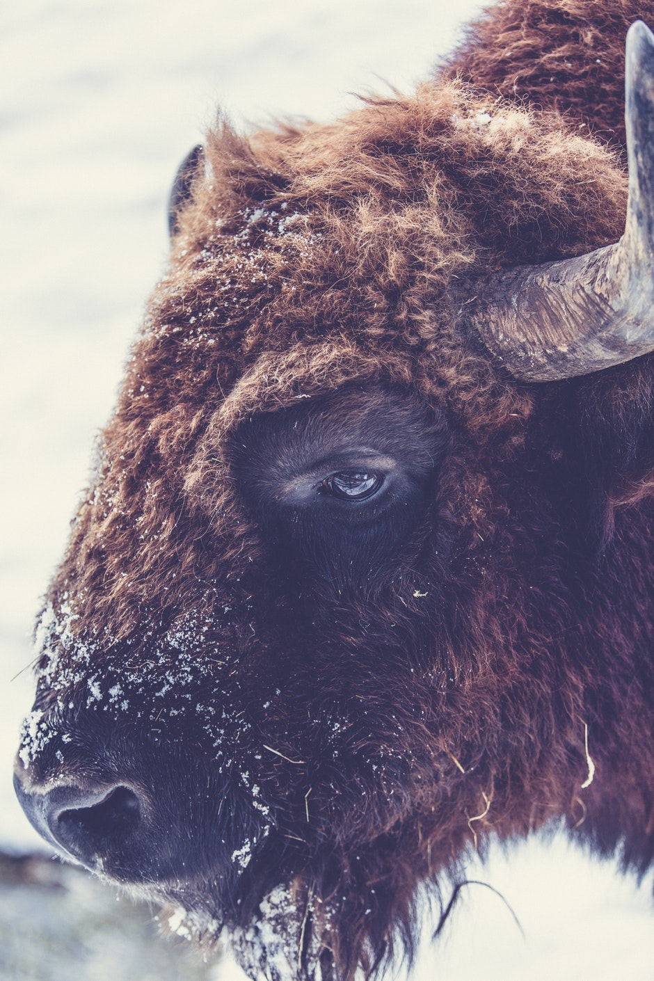 animal, animal photography, bison