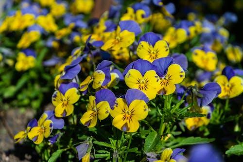 Free stock photo of #springflowers, #viola, #violaflowers, #yellowblueflowers