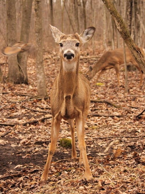 Free stock photo of autumn, deer, nature