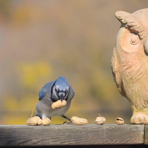 Free stock photo of birds, blue jay, nature, peanuts