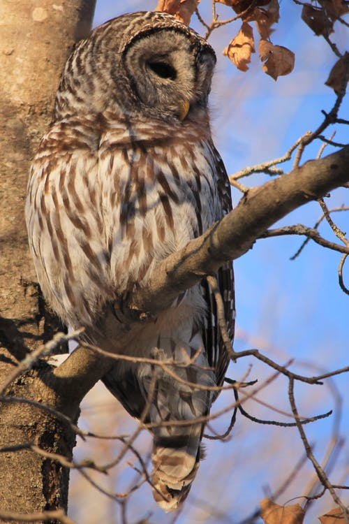 Free stock photo of barred owl, nature, winter
