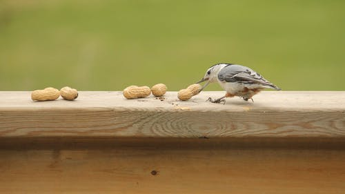 Free stock photo of birds, nature, peanuts, white-breasted nuthatch