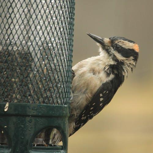 Free stock photo of birds, nature, woodpecker