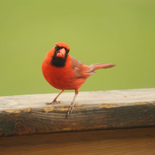 Free stock photo of birds, male, nature, Northern cardinal