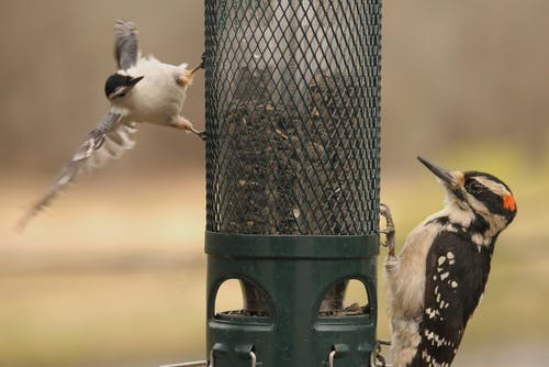 Free stock photo of birds, nature, white-breasted nuthatch, woodpecker