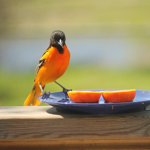 Free stock photo of birds, male, nature, oriole