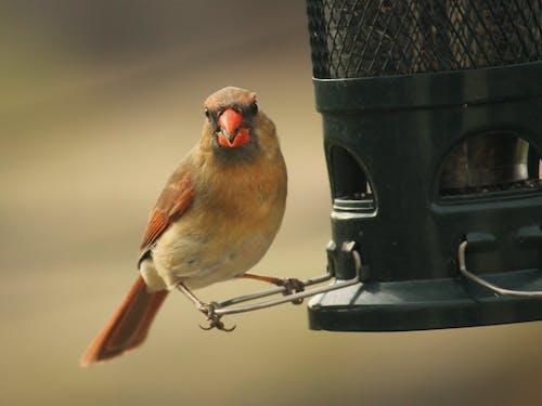 Free stock photo of birds, female, nature, Northern cardinal