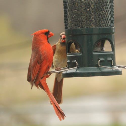 Free stock photo of birds, female, male, nature
