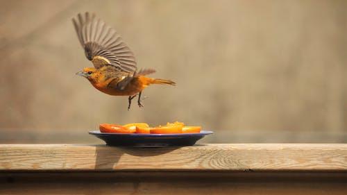 Free stock photo of birds, female, nature, oriole